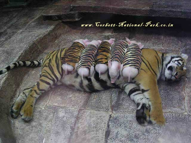 Save Tigers Save Mankind